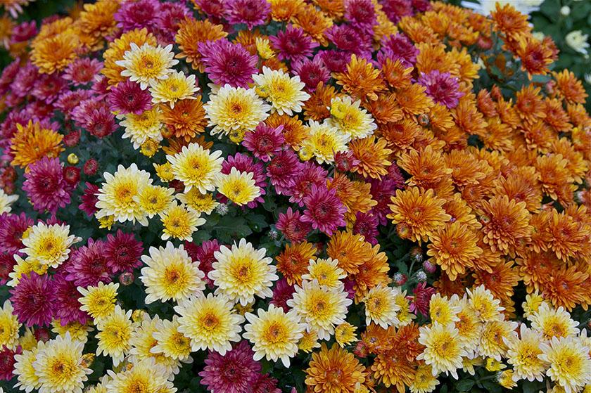 krysantemum i flere farger