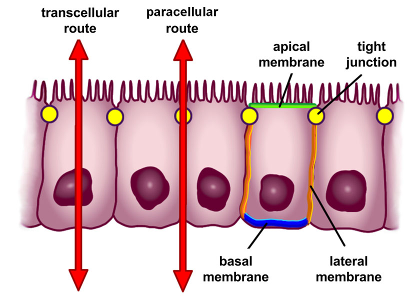 Scheme of selective permeability routes of epithelial cells (red arrows). The transcellular (through the cells) and paracellular routes (between the cells) control the passage of substances between the intestinal lumen and blood. Author: BallenaBlanca. https://en.wikipedia.org/wiki/Intestinal_permeability.
