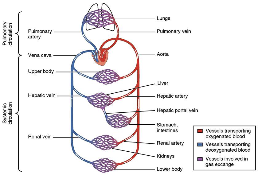 Skjematisk fremstilling av kroppens blodsirkulasjon.