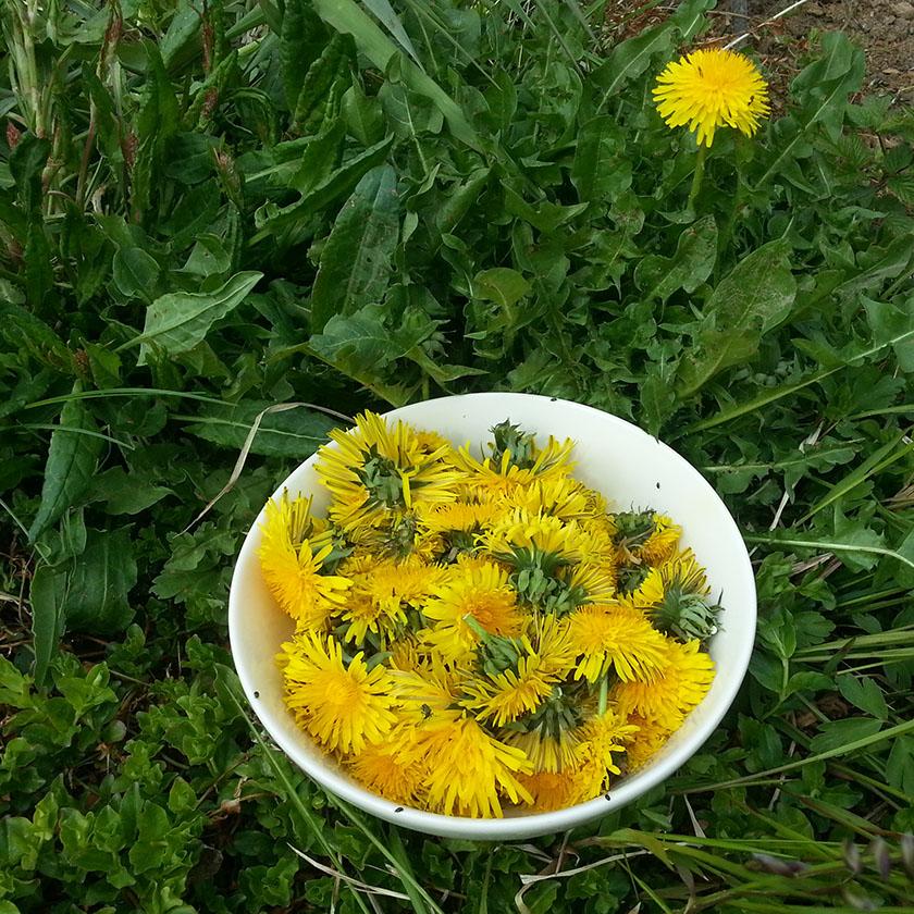 Løvetann salat til lunch idag - rett fra hagen.