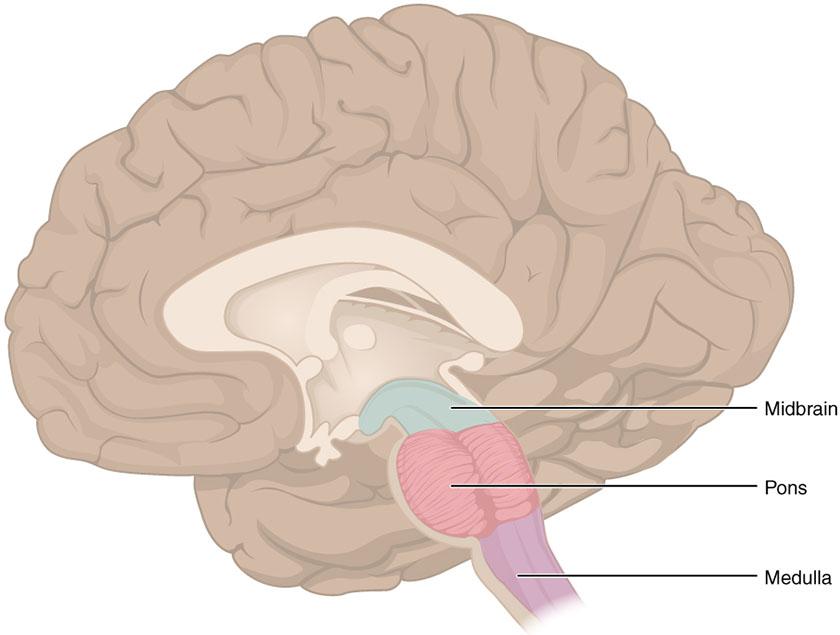 Hjernetammen består av Medulla (ryggmargen), Pons og Midbrain.