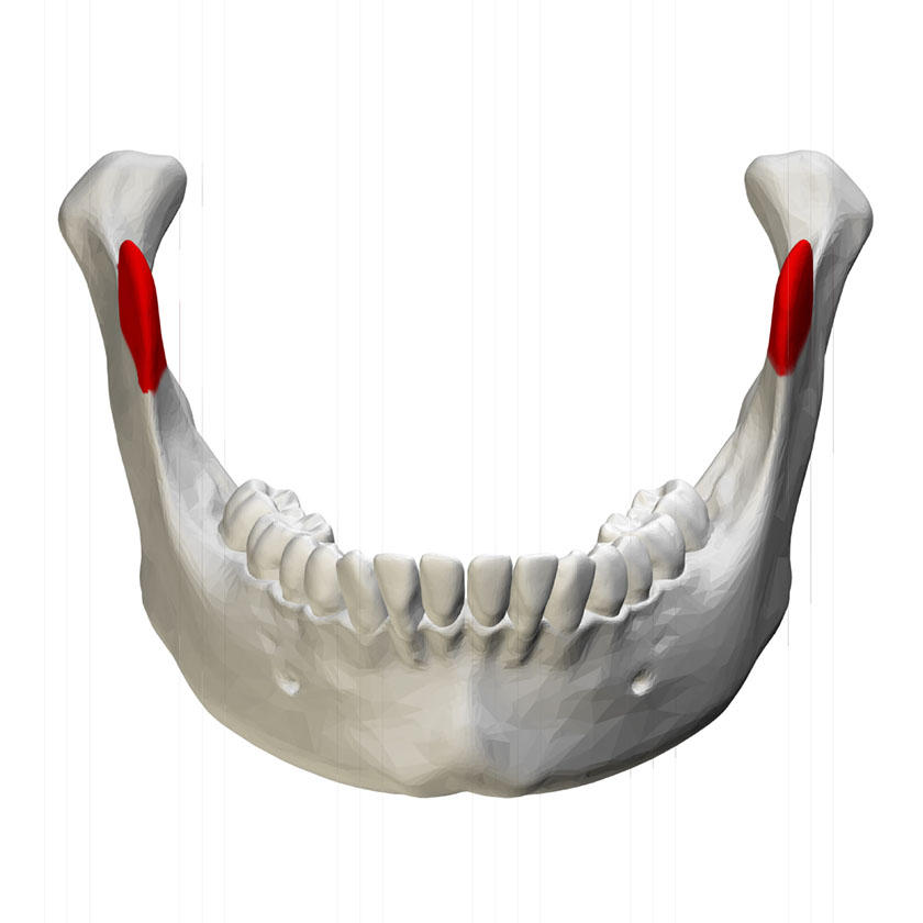 mandible21-coronoid-process-of-mandible-close-up-anterior-view