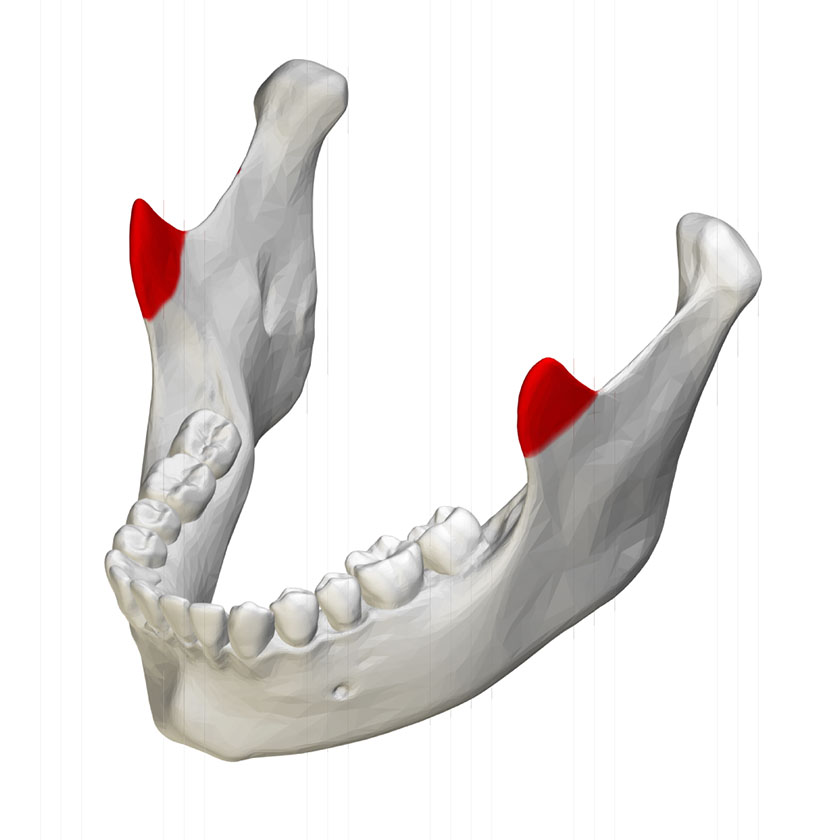 mandible22-coronoid-process-of-mandible-close-up-superior-view