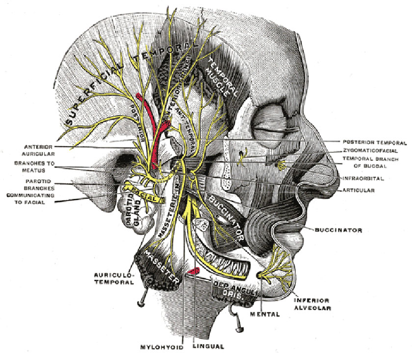 mandible24-mandibular-division-of-the-trigeminal-nerve-inferior-gray781