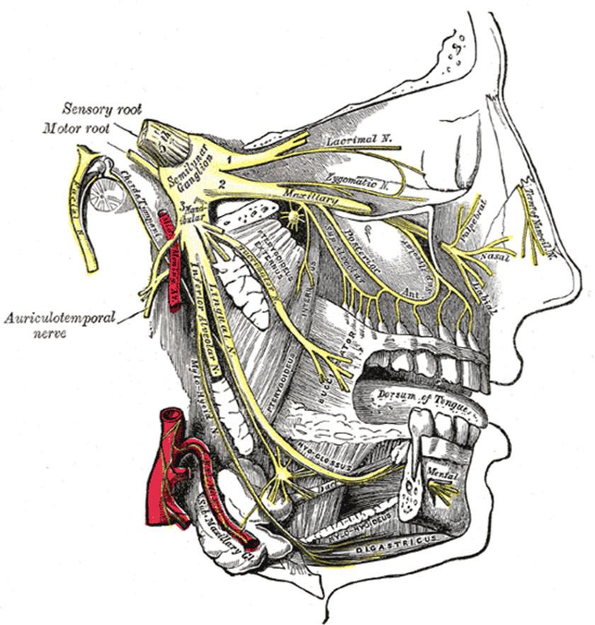 mandible25-distribution-of-the-maxillary-and-mandibular-nerves-and-the-submaxillary-ganglion-inferior-gray778