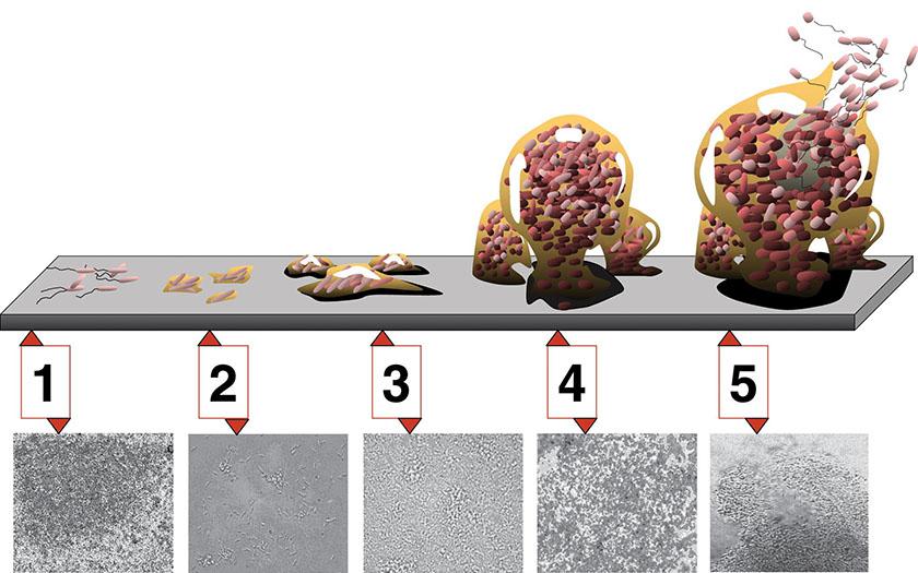 biofilm-20200909-05-biofilm-utvikling