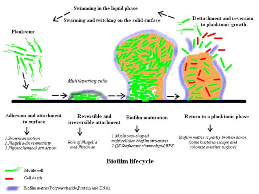 biofilm-20200909-06-biofilm-utvikling