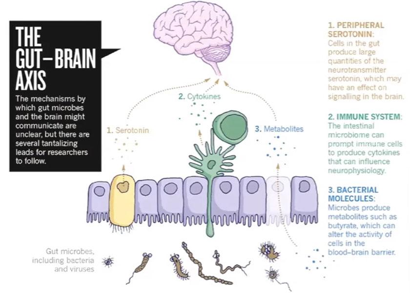 immunsystemet-101-02-microbiome-hjerne-kommunikasjon