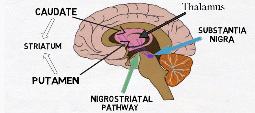 barndomstraumer-og-dopamin-06-substantia-nigra-black-matter-dopamin-sort-substans