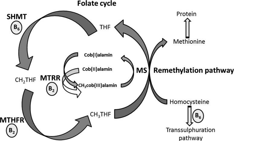 Folatsyklus, metyleringssyklus