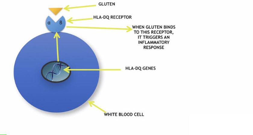 zonulin-gluten04